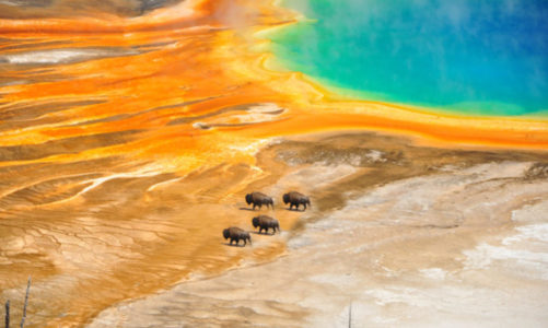 What Are the Big Five of Yellowstone? – Animals