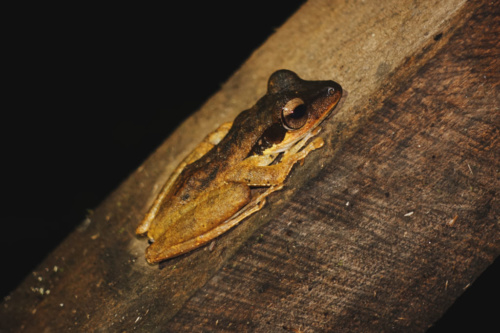 Exploring Borneo Island Brown and Yellow Frog
